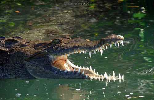 jamaican crocodile - photo #21