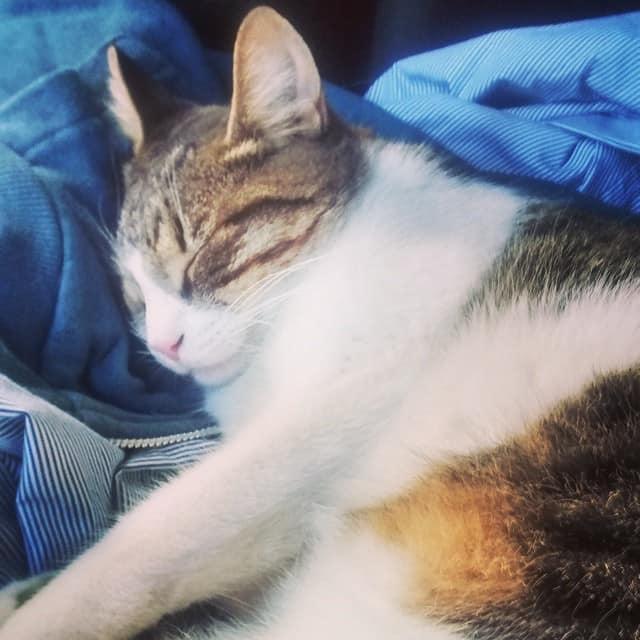 lynxx-clean-clothes-cat