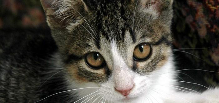 lynxx-kitten